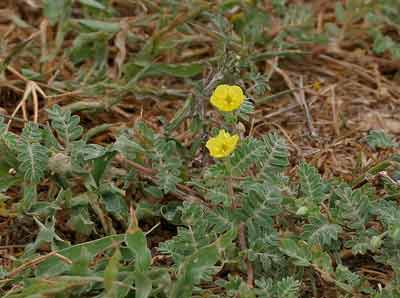 tribulus terrestris erectie