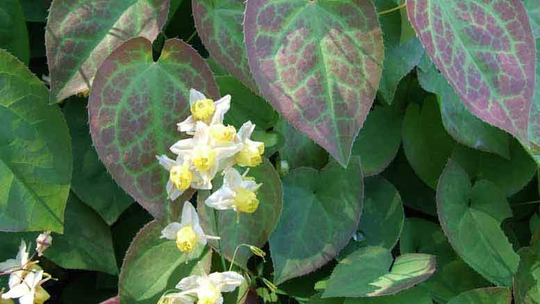 elfenbloem pillen