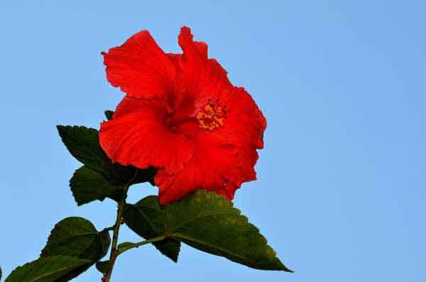 hibiscus bloeddruk