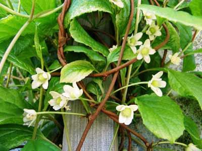 Schisandra Chinensis werking