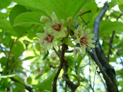 Schisandra chinensis bijwerkingen