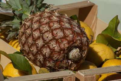 ananas bromelaine antihistamine