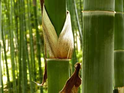 bamboe gezond