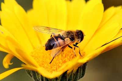 bijen koninginnegelei