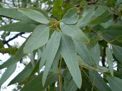 eucalyptus hulpmiddel tegen hoest
