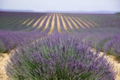 lavendel werking lichaam