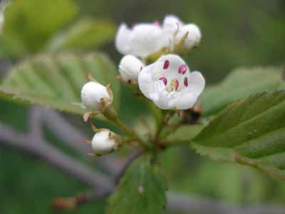 meidoorn bloem