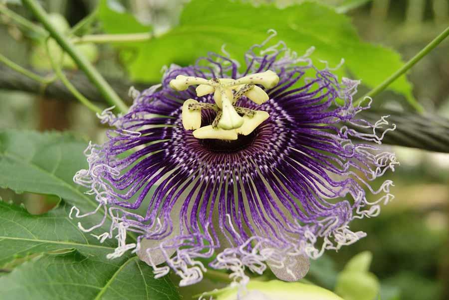 passiebloem passiflora incarnata