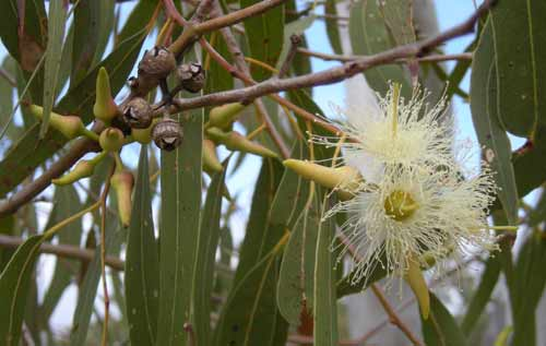 etherische olie eucalyptus