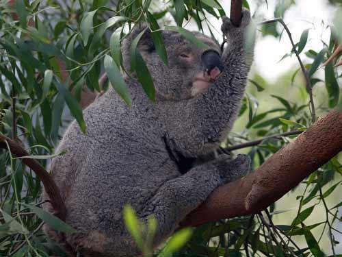 eucalyptus olie