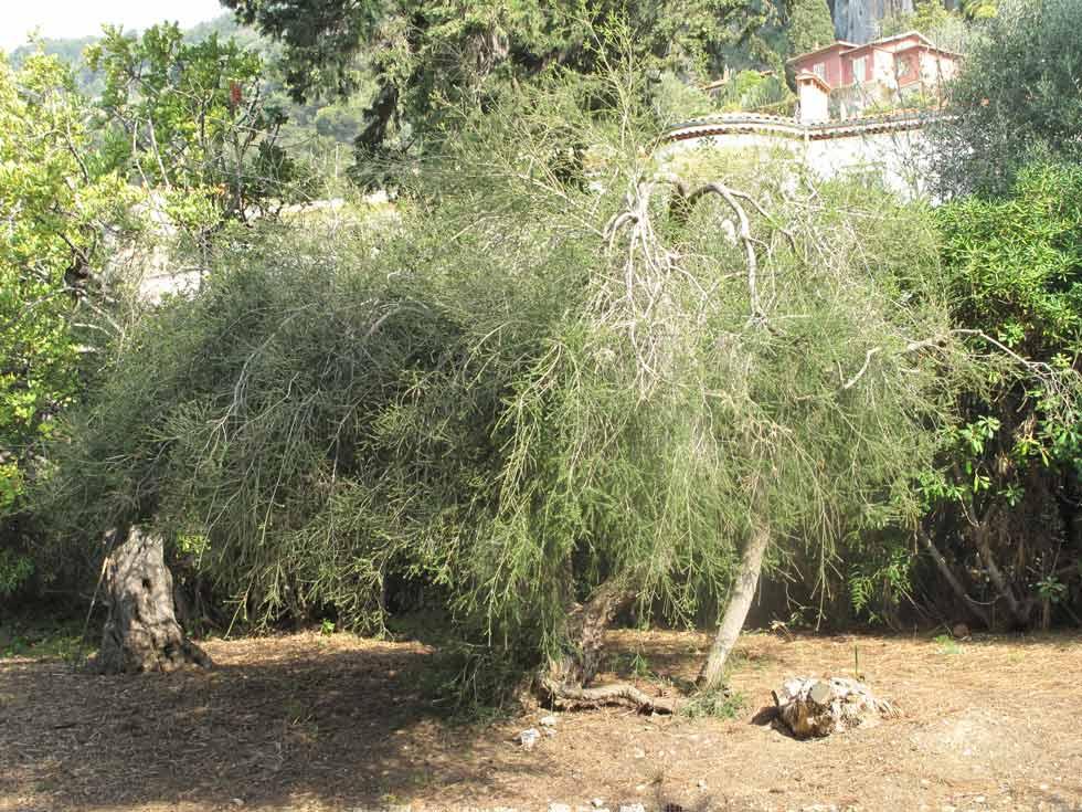 Melaleuca alternifolia.